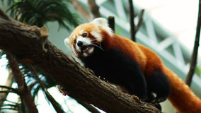 Red Panda Stock Images