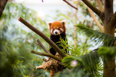 Red Panda. In zoo enclosure Royalty Free Stock Photos