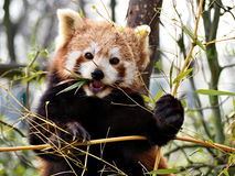 Red panda. From ZOO Ostrava, Czech Royalty Free Stock Image