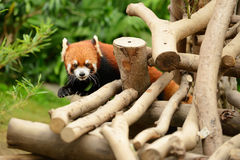 Red pandas. The cuddly red pandas from the temperate forest of Mainland China Stock Photography
