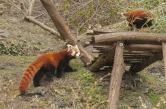 Red pandas Royalty Free Stock Photography