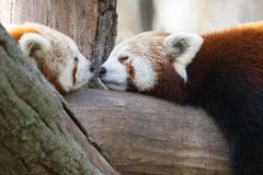 Red pandas. Red or lesser pandas (Ailurus fulgens) are resting on a tree Royalty Free Stock Image