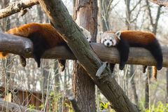 Red pandas. Red or lesser pandas (Ailurus fulgens) are resting on a tree Royalty Free Stock Images