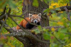 Red panda -Ailurus fulgens royalty free stock photo