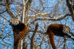 Red pandas. A pair of red pandas Royalty Free Stock Photography