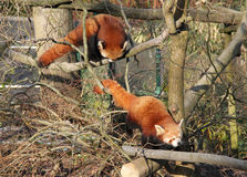 Red pandas. Two cute red pandas climbing together in the branches Royalty Free Stock Photo