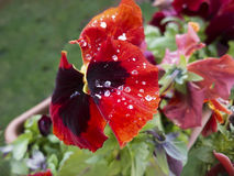 Red pansies flower with dew. Royalty Free Stock Photos