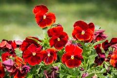 Red pansies in garden Stock Photos