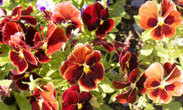 Red pansies (viola tricolor) Stock Photo