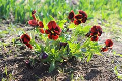 Red pansies (viola tricolor) Royalty Free Stock Images