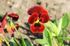 Red pansies (viola tricolor) Royalty Free Stock Image