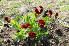 Red pansies (viola tricolor) Stock Image