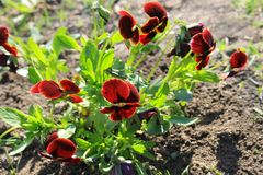 Red pansies (viola tricolor) Royalty Free Stock Photography