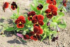 Red pansies (viola tricolor) Stock Photo