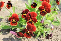 Red pansies (viola tricolor) Royalty Free Stock Photos