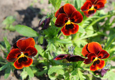 Red pansies viola tricolor Royalty Free Stock Photography