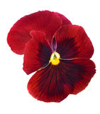 Red pansy blossom isolated on white Royalty Free Stock Images
