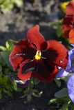 Red pansy Stock Photo