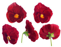 Red pansy flower from different sides Stock Photo