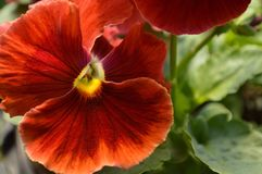 red pansy Royalty Free Stock Image