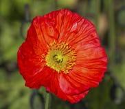 Red papaver flower Stock Photos