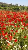 Red papaver flower Stock Photography