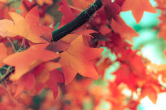 Red paper maple leaf. Selective focus. Stock Photos