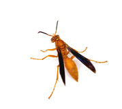 Red Paper Wasp stock image