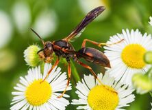 Free Red Paper Wasp On Daisies Royalty Free Stock Photography - 174939637