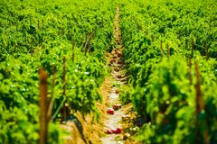 Red Paprika Field Royalty Free Stock Photo