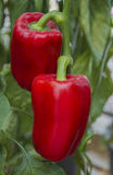 Red paprika growing in a agricultural farm. Stock Image