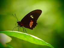 Red Parides butterfly. Tropical insect macro. Colorful animal background. Royalty Free Stock Image