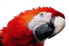 Red Parrot. With aggressive looking royalty free stock photos