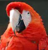 Red Parrot. Colse up view of a red parrot face stock photos