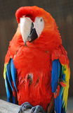 Red Parrot. Colse up view of a red parrot face Stock Photography