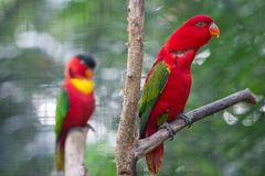 Red Parrot. Parrot in rainforest looking for food Stock Photos