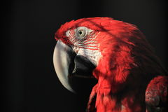A red parrot Royalty Free Stock Photography