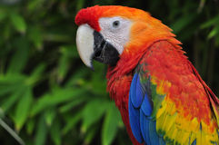 Red Parrot. A parrot with a green background Royalty Free Stock Photos