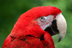 Red Parrot. Giving The Evil Eye Stock Image