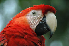 The red parrot Royalty Free Stock Photos