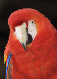Red Parrot. Portrait on black background royalty free stock photography