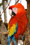 Red Parrot. With yellow and blue feathers Stock Photos