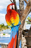 Red Parrot. With yellow and blue feathers Royalty Free Stock Photo