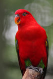 The Red Parrot. The beautiful and colourful parrot in striking red colour Royalty Free Stock Photography