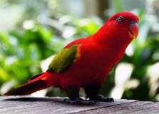 Red Parrot. Stock Image