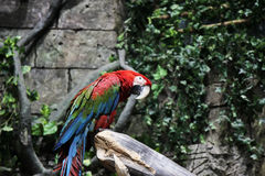Red parrot ara sitting on a branch in jungle Royalty Free Stock Photos