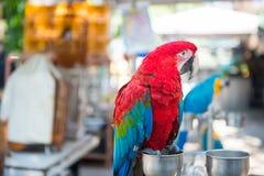 Free Red Parrot At Yuen Po Street Bird Market Stock Photo - 111845310