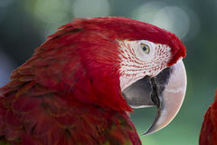 Red parrot in Bali Bird Park, Indonesia Stock Images