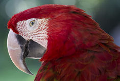 Red parrot in Bali Bird Park,, Indonesia Stock Photos