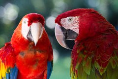 Red parrot in Bali Bird Park,, Indonesia Stock Image